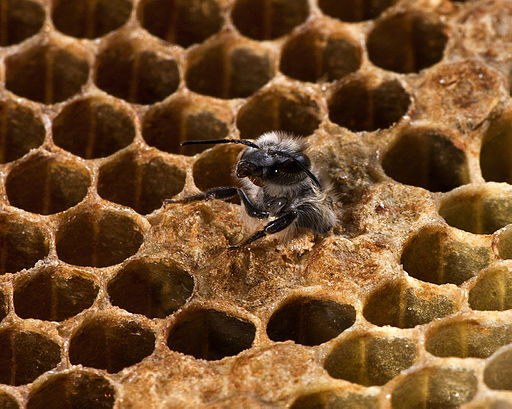 Nagroda specjalna: truteń pszczoły miodnej (''Apis mellifera'') w chwili narodzin, Ribeirão Preto, Brazylia. Zdjęcie zyskało uznanie w oczach jurorów, jednak zostało wykonane poza obszarem chronionym, dlatego zostało ocenione poza konkursem. Fotografia autorstwa użytkownika Jonathan Wilkins, dostępna na licencji CC-by-SA 3.0