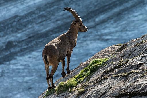 Miejsce trzecie: Koziorożec alpejski (''Capra ibex'') w austriackim parku narodowym Wysokich Taurów. Fotografia autorstwa użytkownika Bernd Thaller, dostępna na licencji CC BY-SA 3.0